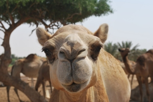 A friendly camel